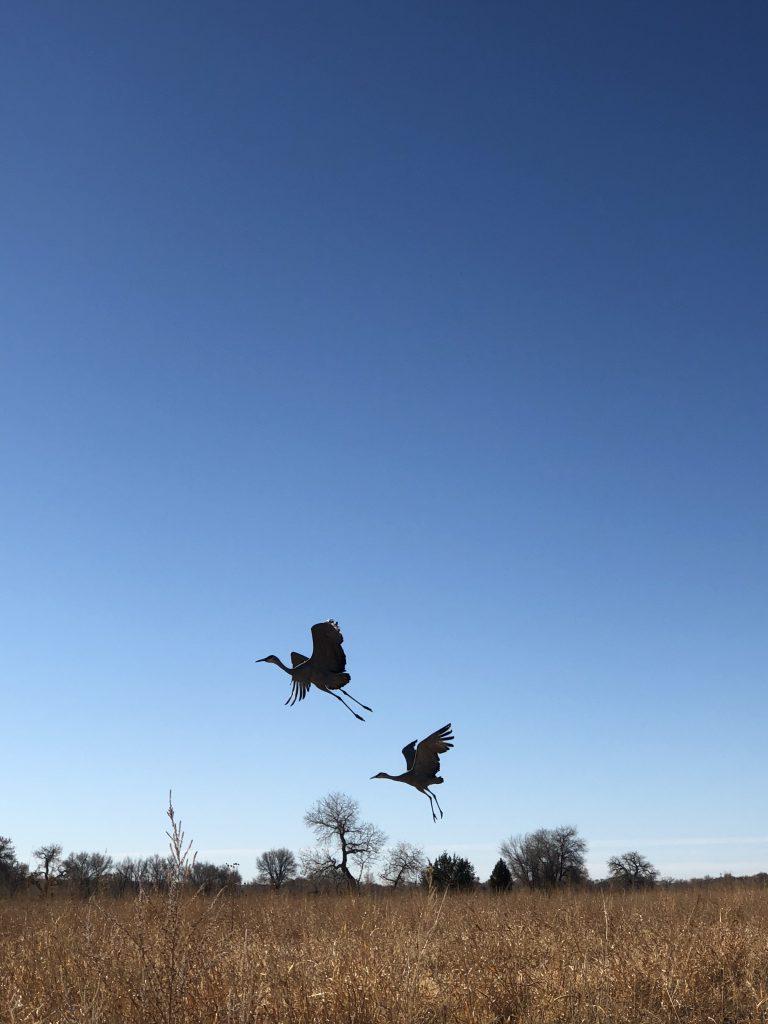 Cranes taking flight (photo by Charlene Pino)