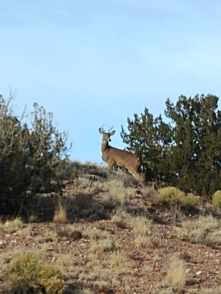 Young buck (photo by Simon Garcia)